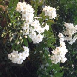 Arbusti