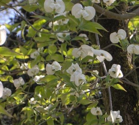 Cornus florida White Cloud fio